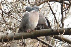 Крым. Лесные голуби вяхири или витютни