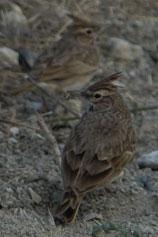 Крым. Феодосия. Жаворонок хохлатый (Galerida cristata)