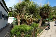 Никитский Ботанический Сад. Гигантская юкка