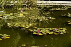 Никитский Ботанический Сад. Водяная лилия