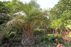 Гигантская саговая пальма в Никитском Ботаническом Саду