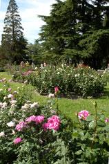 Розарий. Никитский Ботанический Сад