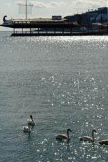 Лебеди у Ялтинской набережной