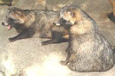 Ялтинский зоопарк Сказка. Енотовидная собака