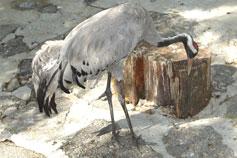 Ялтинский зоопарк Сказка. Серый журавль