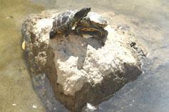 Ялтинский зоопарк Сказка. Европейская болотная черепаха