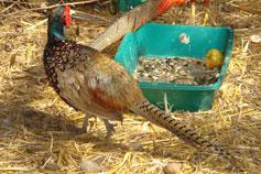 Ялтинский зоопарк Сказка. Обыкновенный фазан