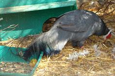 Ялтинский зоопарк Сказка.Голубой ушастый фазан