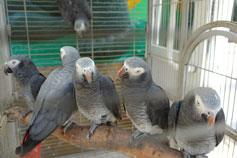 Ялтинский зоопарк Сказка. Серый попугай жако