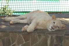 Ялтинский зоопарк Сказка. Белый лев