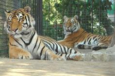 Ялтинский зоопарк Сказка. Бенгальские тигры