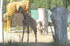 Ялтинский зоопарк Сказка. Жираф